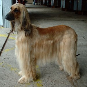 :an afghan hound: