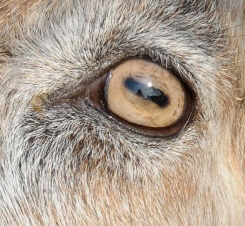 goat-eye2